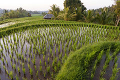 Bali Rice Fields Stock Photos