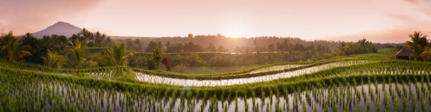 Bali Rice Fields Royalty Free Stock Photo