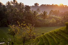 Bali Rice Fields Stock Images