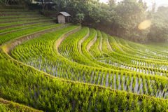 Bali Rice Fields Royalty Free Stock Images