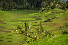 Bali Rice Fields. The village of Belimbing, Bali, boasts some of the most beautiful and dramatic rice terraces in all of Indonesia. Morning light is a wonderful Stock Image