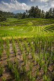 Bali Rice Fields. The village of Belimbing, Bali, boasts some of the most beautiful and dramatic rice terraces in all of Indonesia. Morning light is a wonderful Royalty Free Stock Photo