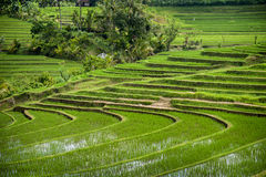 Bali Rice Fields. The village of Belimbing, Bali, boasts some of the most beautiful and dramatic rice terraces in all of Indonesia. Morning light is a wonderful Royalty Free Stock Images