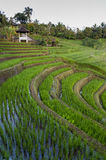 Bali Rice Fields. The village of Belimbing, Bali, boasts some of the most beautiful and dramatic rice terraces in all of Indonesia. Morning light is a wonderful Stock Photography