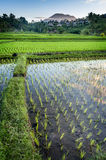 Bali Rice Fields. The village of Sidemen, in east Bali, boasts some of the most beautiful and dramatic rice terraces in Indonesia Royalty Free Stock Image