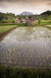 Bali Rice Fields. Royalty Free Stock Images