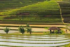 Bali Rice Filed Stock Photo