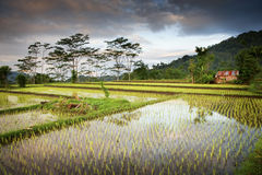 Bali Rice Paddy. New rice is planted in a flooded paddy in the very scenic village of Sidemen in eastern Bali, Indonesia Royalty Free Stock Photo