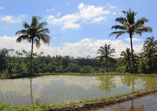 Bali Rice Paddy. A rice paddy in Bali, Indonesia Royalty Free Stock Images