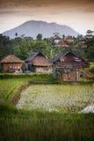 Bali Rice pola. Zdjęcia Stock