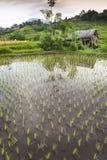 Bali Rice pola. Zdjęcia Royalty Free