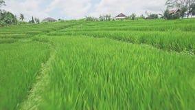 Bali Rice pola zakończenie W górę anteny 4k zbiory wideo