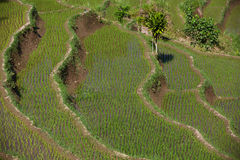 Bali rice terrace Stock Images
