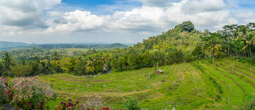 Bali rice terrace panorama Royalty Free Stock Image
