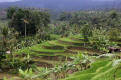 Bali rice terrace. Photo image with rice terrace and palms Stock Photography