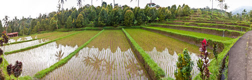 Bali rice terrace Royalty Free Stock Images