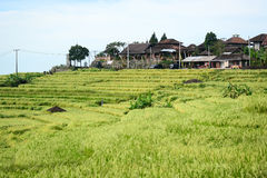 Bali rice terrace, rice field of Jatiluwih Royalty Free Stock Photos