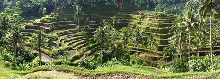 Bali Rice Terraces. In early morning light.  Panoramic view (large file Royalty Free Stock Image
