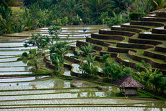Bali Rice Terraces. The village of Belimbing, Bali, is known for its dramatic and beautiful rice terraces. These fields are hundreds of years old and provide an Royalty Free Stock Photo