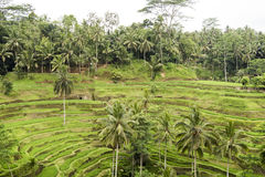 Rice terraces, Bali Stock Photography