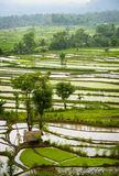 Bali Rice Terraces. The rice fields are flooded to begin the process of planting the new rice by hand. Up to four crops per year can be grown Stock Photography
