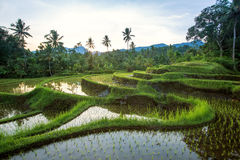Bali Rice Terraces Stock Image