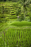 Bali Rice Terraces Royalty Free Stock Photo
