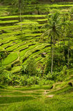 Bali Rice Terraces Royalty Free Stock Photos