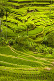 Bali Rice Terraces Royalty Free Stock Images