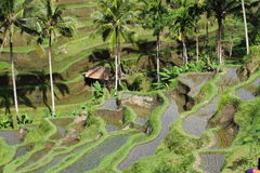 Bali rice terraces, Indonesia. Bali rice terraces, in early morning light.Indonesia Stock Photography