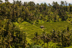 Bali Rice Terraces in Jatiluwih Stock Photography