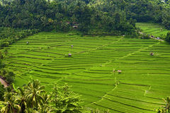 Bali Rice Terraces. In the mountains of Bali near the village of Munduk the rice terraces seem to stretch far in the distance. The verdant green color carpets Royalty Free Stock Photos