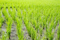 Lines of green stalks of rice gowning Royalty Free Stock Image