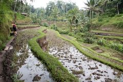 Walking in Tegallalang Rice Terraces in Bali Royalty Free Stock Images