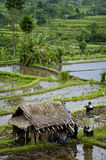 Bali Rice Terraces. The real Bali can be found outside the tourist areas. These rice terraces can be seen in east Bali near a village called Sidemen. Grass huts Stock Image