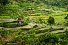 Bali Rice Terraces. Some of the most beautiful and dramatic rice fields in Bali can be seen in the eastern area on the way to Amed on the coast Royalty Free Stock Photo