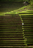 Bali Rice Terraces Stock Image