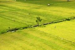 Bali Ricefält. Arkivfoton