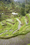 Bali ricefield Royalty Free Stock Photo