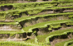 Bali ricefield Royalty Free Stock Images