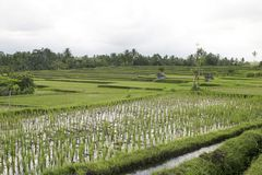 Bali, Ricefield Foto de Stock Royalty Free