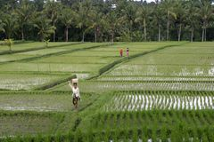 Bali, Ricefield Stock Afbeelding