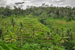 Bali ricefield  Indonesia Ubud Bali Stock Images