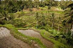 Bali risfält Arkivbild