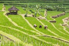Bali risterrasser Arkivbild