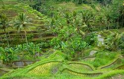 Bali ryżowi tarasy, Indonesia Obrazy Stock