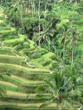 Bali's Terraced Rice Fields. Bali - May 2014 Winding path up the terraced rice fields in Ubud, Bali stock images