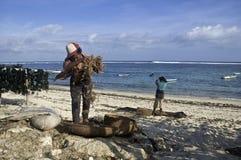Bali Seaweed farmer. Stock Image