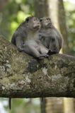 bali skogapa Royaltyfri Foto