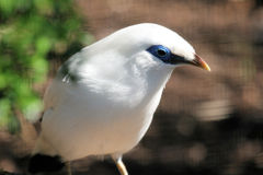 Bali Starling Royalty Free Stock Photo